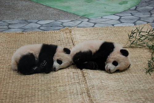 sleepPandas Baby,  Pandas Bears, Power Animal, Pandas Therapy, Animal 3, Baby 3, Pandas Pandas, Giants Pandasso, Super Kawaii