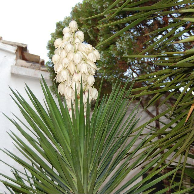 #pianta#yucca#fiore#casamia#specalesardegna#instardegna#insardegna by mariabonaria_