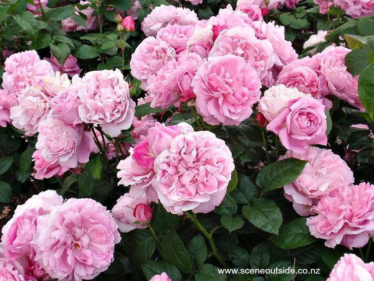 Rosa 'Mary Rose'. Read more about this gorgeous rose in the plant guide of my website http://www.aboutgardendesign.com