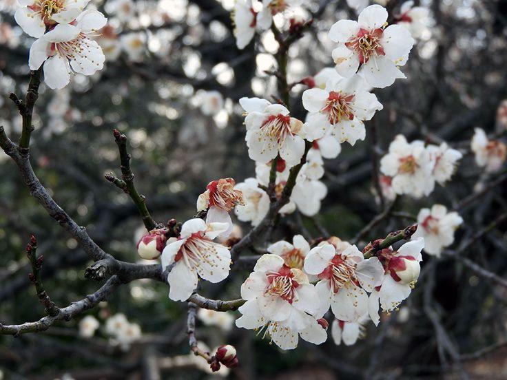 梅まつりの前に梅を見に行く【田上町梅林公園:新潟県】