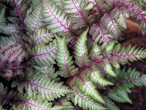 Japanese painted fern. Additional fertilization may be a light application of pelleted fertilizer or liquid plant food at half strength.  Trim back browning fronds as needed.