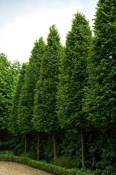 Carpinus betulus 'Frans Fontaine' - Columnar Hornbeam - When young, the cultivar 'Fran Fontaine' is similar to 'Fastigiata' but was selected for its ability to retain its sleek, columnar form into maturity. Long-lived even in tough locations, it matures at 40 to 50 feet tall but spreads only about 20 feet. In ten years it seldom spreads more than 6 to 8 feet while reaching a height of 20 to 25 feet. A handsome tree, the summer foliage is a rich green becoming a gold yellow in autumn.