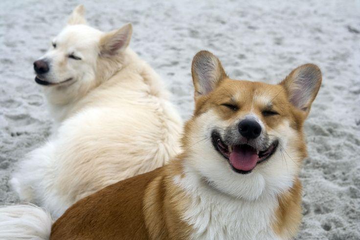 Happy corgi | The Cutest Corgis | Pinterest