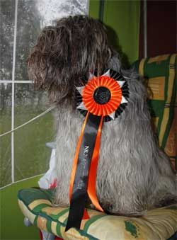 Dog Agility Competition for Schapendoes Newbie