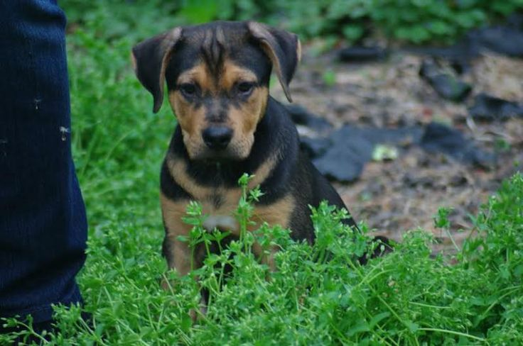 Adopt simon adopted on petfinder lab mix puppies