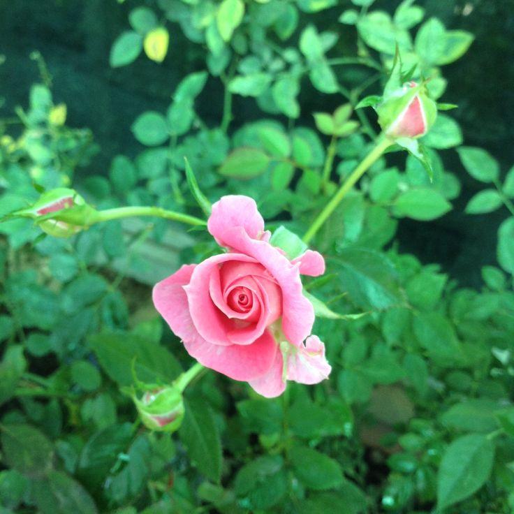 Miniature pink rose in my garden.