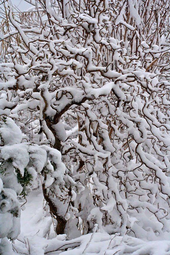 syringa winter - Поиск в Google