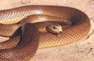 As 10 cobras mais venenosas do mundo -  As cobras mais venenosas do mundo dividem-se em três grupos, conforme a ação do seu veneno. Entre elas estão a Inland Taipan, como a serpente mais venenosa do mundo, a Cobra Marrom, não menos perigosa, e a Cascavel, extremamente letal #alcanceosucesso