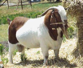 Related to Dar-B - Boer Goat Buck (male) Painted Warrior, won 14 Grand Champion Buck awards and 11 Reserve Grand Champion Buck awards. Died January, 2010. One of the great ones of his breed.