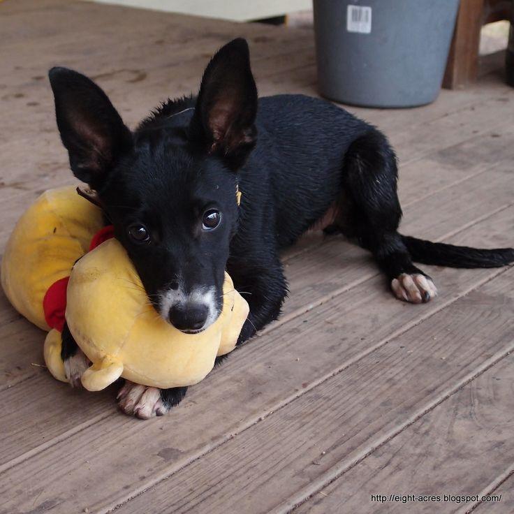 Taz with favourite toy. Puppy Breed Kelpie/Collie mix