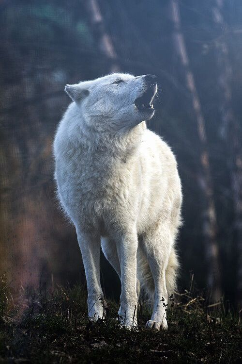 Wolves have different types of howls and sounds to communicate different things to wolves in their pack.