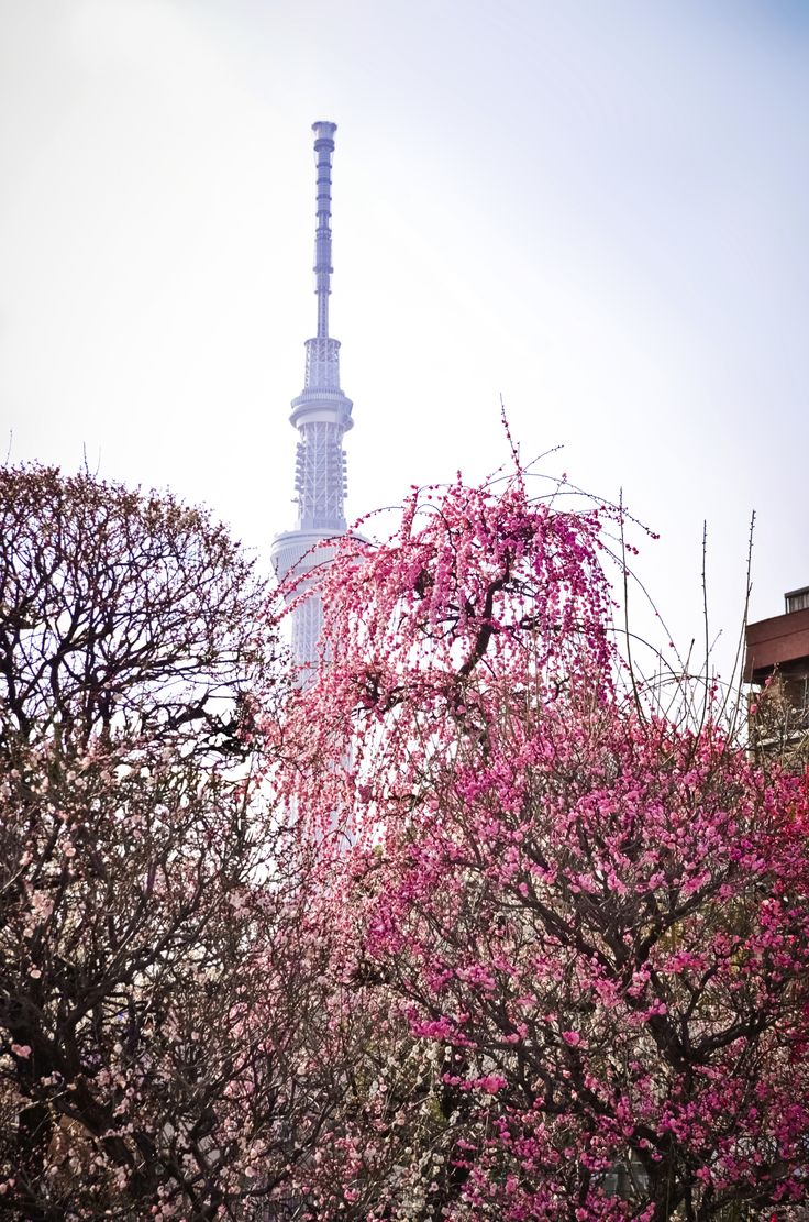 Will you be in #Tokyo, #Japan to experience the cherry blossoms during spring?