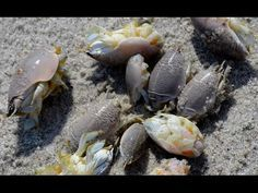 How to catch sand fleas by hand in Florida. - YouTube