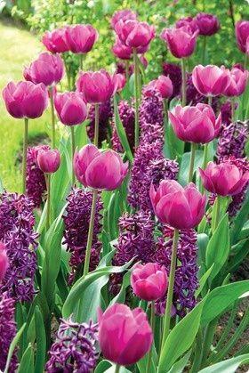 rugged life tulips and hyacinths - rugged life