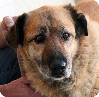 Shepherd (Unknown Type) Mix Dog for adoption in Palmdale, California - Phoenix