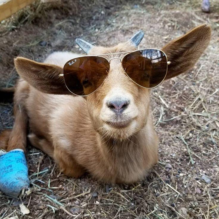 Goats of Anarchy:  Poppy