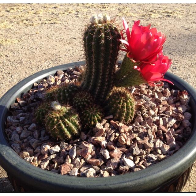 Torch cactus abloom!