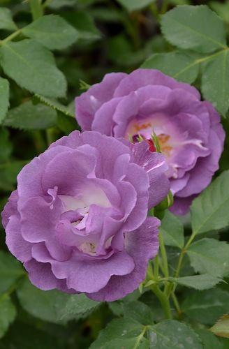 "Rose ""Blue for You"" Floribunda"
