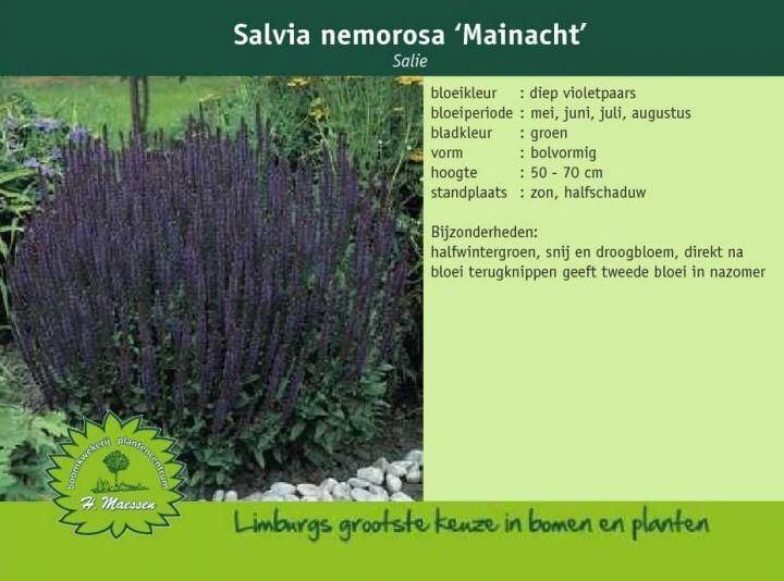 Salie - Salvia nemorosa 'Mainacht'