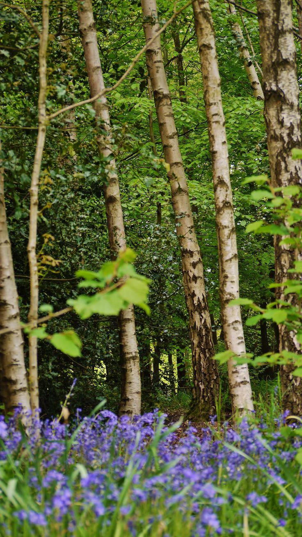 Bluebells at Emmets Gardens  Taken by myself