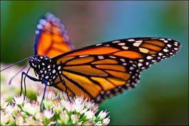 """Résultat de recherche d'images pour """"les papillons monarques."""""""