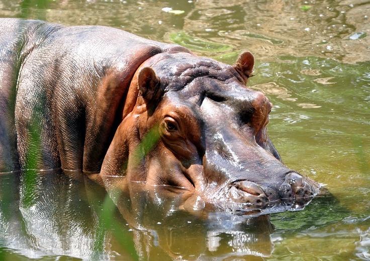 KC Zoo - Hippo