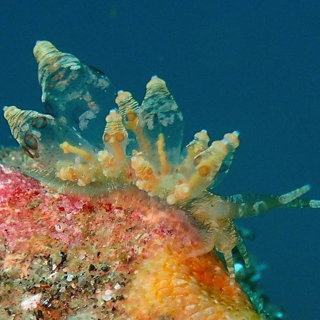 Beautiful nudibranch - exploring Molo Strait - Let's Macro #indonesia #flores #komodo #labuanbajo #molostrait #beautiful #nudibranch #macro #colors #seethru #scuba #scubaba #livetoscuba #scubadiving #underwaterphotography #olympus #padi #instapic #instadive #instadaily #nofilter #scubashootersundays