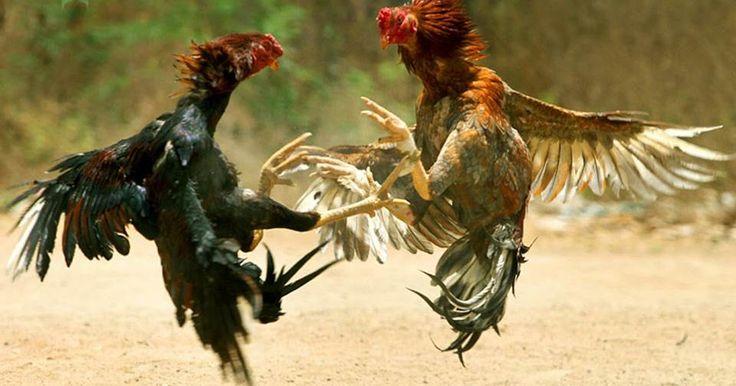 Sabung Ayam Online | Game Taruhan Online        Sabung Ayam adalah permainan tradisional yang sudah sangat populer di negara-negara Asia Te...