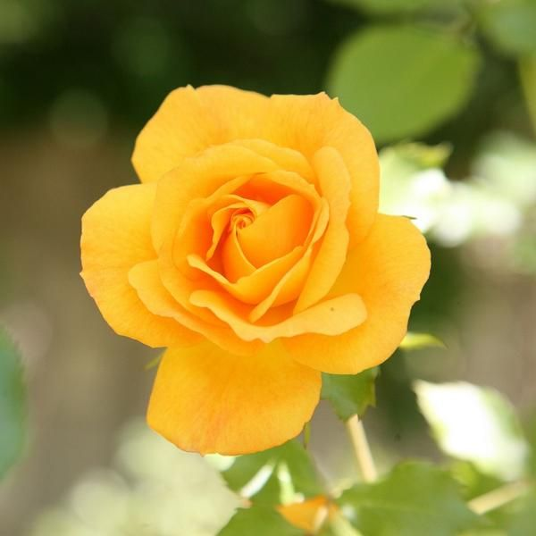 SMOOTH TOUCH ROSE Buttercup| THORNLESS ROSE BUSH Yellow Smooth Buttercup is a beautiful compact thornless floribunda which will produce plentiful clusters of b