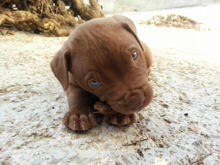 Cute rednose pitbull puppy :*