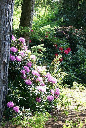Fancy Rhododendron sind wundersch ne Leuchtfeuer im Garten aber sie stellen Anspr che an den Boden