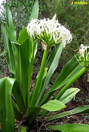 got one of these today!! Crinum lily | Crinum is a genus of about 100 species, most of which occur in Africa ...