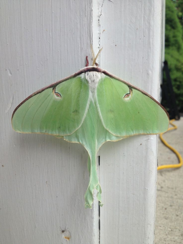 A moon moth that hung around the cottage for a few days Summer of 2013