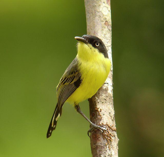 nombres de aves colombianas - Buscar con Google