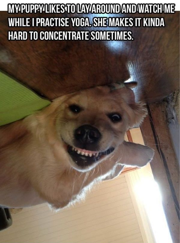 23 Funny Memes Of Dogs Making A Derp Face Funny Dog Memes Cute