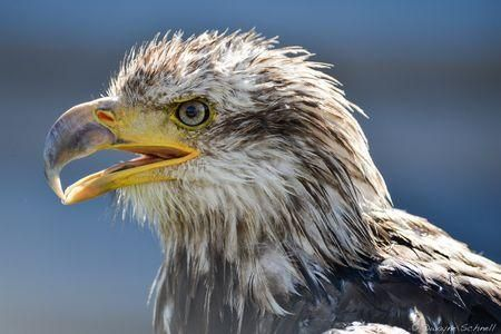 Bald Eagles, Bald Eagle Pictures, Bald Eagle Facts - National Geographic