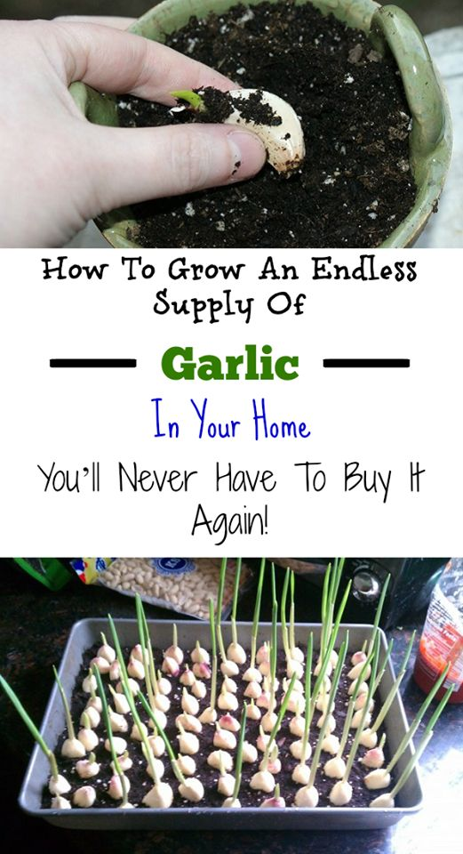 How To Grow An Endless Supply Of Garlic In Your Home, You'll Never Have To Buy It Again!