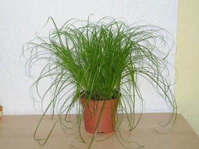 #Zypergras (#Cyperus zumula): Hauptsächlich wird diese Pflanze als Katzengras verkauft. Die Pflege der Pflanze ist sehr leicht, denn das Cyperus möchte nur einen hellen bis sehr hellen Standort und viel Wasser. Der Untersetzer oder Übertopf kann immer mit Wasser gefüllt sein, da diese Pflanze ein Sumpfgewächs ist und nur bei viel Feuchtigkeit gut gedeiht.Leider vertrocknen bei dieser Zypergras-Art häufig die Blattspitzen, was an der zu niedrigen Luftfeuchtigkeit im Wohnraum liegt.