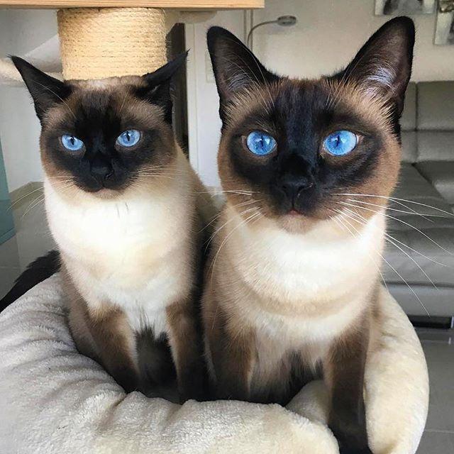 Siamese Twins Featuring Leoundfilou Siamesekittens Orangecat Cat Breeds Siamese Cats Crazy Cats