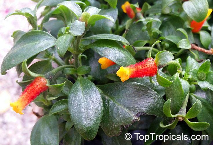 Manettia luteorubra, Manettia bicolor, Manettia luteo-rubra, Manettia inflata, Candy Corn Vine, Cigar Flower, Firecracker Plant,