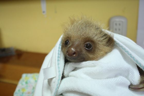 baby sloth with bed head