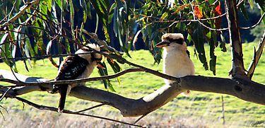 Kookaburra's Sitting in an Old Gum Tree