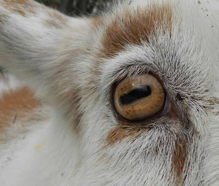 "Why goat pupils are rectangular -- ""This shape has a purpose. It allows for excellent peripheral depth perception – exactly what a hoofed prey animal needs to watch out for predators and make a quick escape. The goats can see about 320 to 340 degrees around them."""