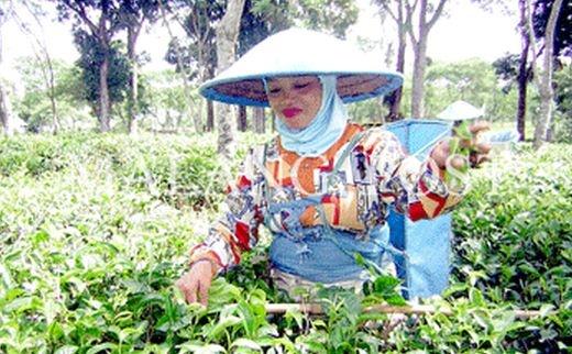 Para pekerja perkebunan teh wonosari - lawang, malang