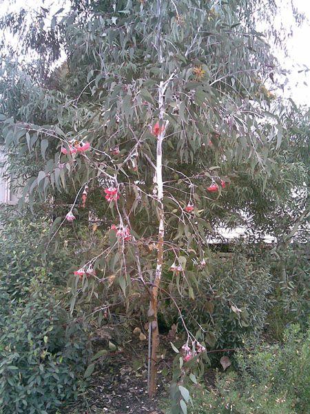 eucalyptus-caesia-silver-princess