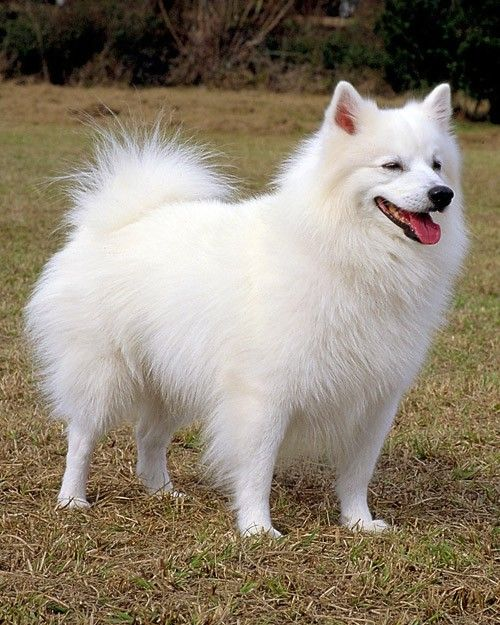 Companion Dogs For Sale