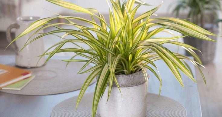 177 besten indoor pflanzen pflege tipps bilder auf pinterest. Black Bedroom Furniture Sets. Home Design Ideas