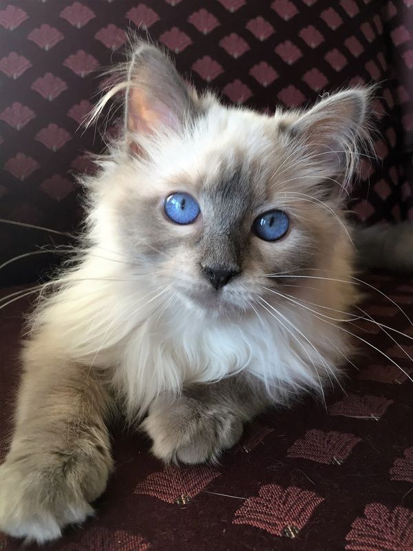Labeled a Blue point Balinese kitten. If this beautiful cat is a Balinese, it would be the traditional type Balinese.