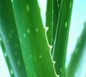 Aloe Vera Benefits For The Body, Inside And Out
