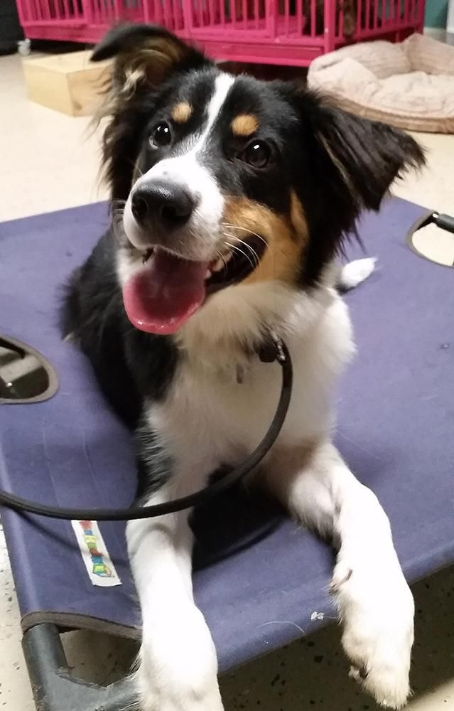 Meet Laddie, a Petfinder adoptable Border Collie Dog | Seattle, WA | This is Laddie. A one year old tri colored border collie. He is very social loves other dogs big...